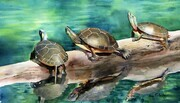 Pinery Turtles